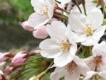 さくら通信【時事コラム】第19回 2017年3月20日春分号